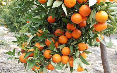 цитрусовые дома апельсиновоедерево выраститьизкосточки проращивать косточка почва выраститьвдомашнихусловиях вкомнатныхусловиях солнечныйсвет апельсин лимон мандарин